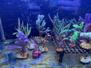 Korallen LPS SPS