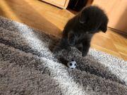 BKH Baby kitten Katzen Kater