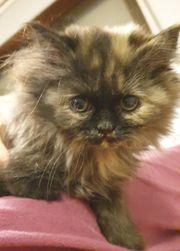 Maine Coon - Perser Mix Kitten