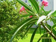 2 Oleander - einer der elegantesten