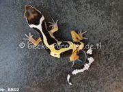 Leopardgecko 2019 Weibchen und Männchen