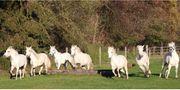Camargue Pferde - Die weißen Perlen