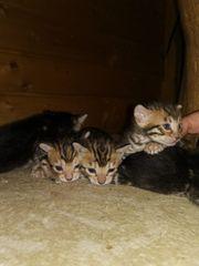 5 Bengal Kitten suchen ein
