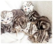 BKH Kitten mit Stammbaum