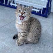 BKH Schottisch fold kitten ABGABE