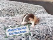 KuNtErBuNtE zahme Ratten Babys