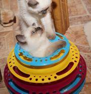 Rassenmix-Kätzchen aus Briten BKH Thai