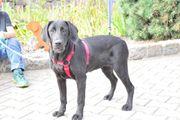 Familienfreundliche Labrador Junghunde