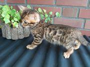 Reinrassigen Bengal kitten