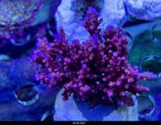 SPS Korallen Rhein-Main update 25