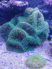 große Rhodactis grün - Scheibenanemone