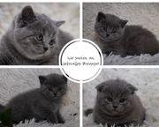 Süße BKH-und Scottish-Fold-Kitten