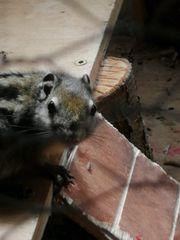 Chinesische Baumstreifenhörnchen Jungtiere