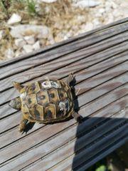 testudo hermanni hercigovinensis dalmrienische Landschildkröte