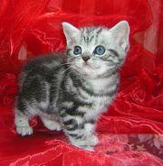 Süße Britisch Kurzhaar Babys silver-tabby