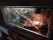 Darwin Teppichpython mit Terrarium