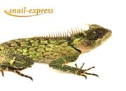Acanthosaura armata - Grüner bewährter Nackenstachler