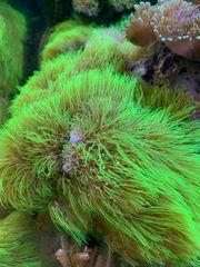 Korallen - Briareum violaceum Grüne Röhrenkoralle