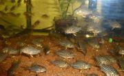 Corydoras sterbai Orangeflossen Panzerwels