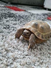 Suche Weibliche Steppenschildkröte