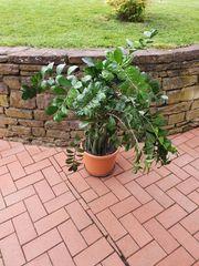 Zimmerpflanze 100 cm Glücksfeder Zamioculas