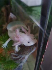 Drei Süße Axolotl