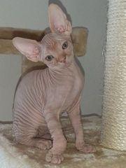 Canadian Sphynx Kitten 1Mädchen 1Jungen
