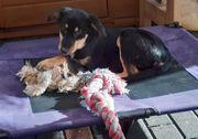 Junghund Jive 41 cm sucht