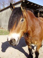 Suche Reitbeteiligung für Kaltblutstute Pferd