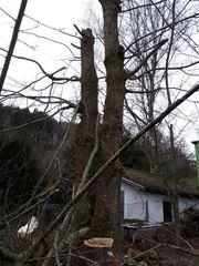 Wertholz Kastanienstämme
