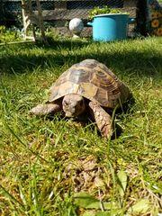 Suche adulte griechische Landschildkröte Weibchen