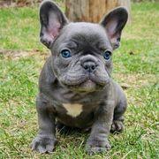 Reinrassige Französische Bulldoggen Welpen dhgdgf