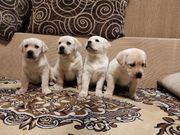 Labrador Hunde Welpen