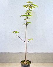 Kastanienbaum Rosskastanie 140 cm Baum
