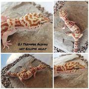 Leopardgecko 0 1 Tremper Albino