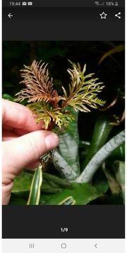 Begonia bipinnatifida Tropische seltene Begonie