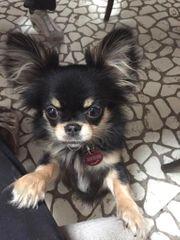 Chihuahua Jungrüde in black tan