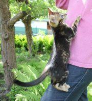 Bengalkatzen Katzen Kitten Kätzchen Bengalen
