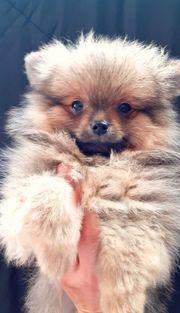 Pomeranian Zwergspitz Welpe Toy Teddy