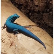 0 0 9 Lygodactylus williamsi