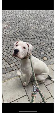 Dogo Argentino 6 Monate alt