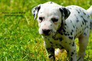 2 süße gesunde Dalmatinerwelpen suchen