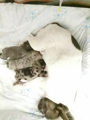 Französische Bulldogge Welpen 11Wochen alt