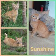 Kater EKH Kitten VH Sunshine