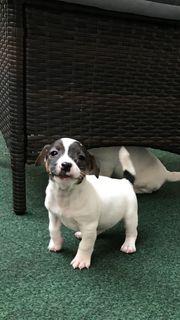 Wunderschöne Jack-Russel-Terrier Welpen