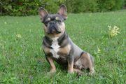Deckrüde Blue Tan Französische Bulldogge