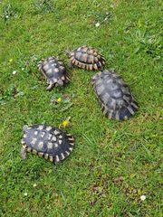 Landschildkröten - Breitrandschildkröten - Testudo Marginata - Griechische