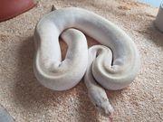 Python Regius Pastel Super Mojave