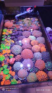 Korallen Nachzuchten Zoas Acropora Wilsonis