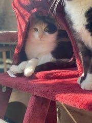 dreifarbige wunderschöne junge Katzendame